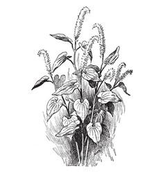 saururus cernuus vintage vector image