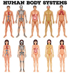 Body system of man and woman vector image