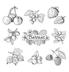 hand drawn berries cherry blueberry strawberry vector image
