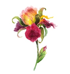 Beautiful watercolor iris flower vector image