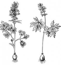 Corydalis vector