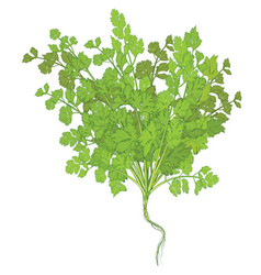 Coriander leaves on white background vector