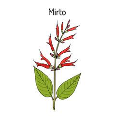 Mirto salvia elegans medicinal plant vector