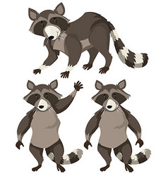 Raccoon in three positions vector