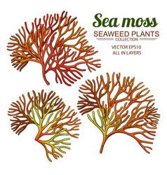 Sea moss set vector