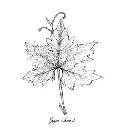Hand drawn of grape leaf on white background vector