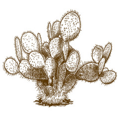 engraving of opuntia cactus vector image