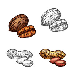 Nut and bean isolated sketch of peanut and pecan vector