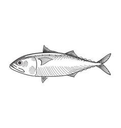 Drawing mackerel fish vector