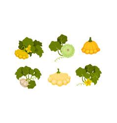 Ripe bush pumpkin or custard squash with green vector