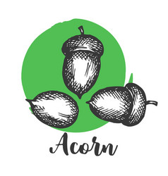 acorn setch style hand drawn vector image