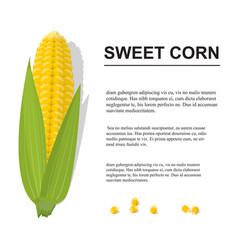 brochure with sweet golden corn cobs and grains vector image
