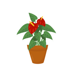 Anthurium with dark red flowers and green leaves vector