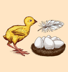 Chicken and feather nest with eggs farm product vector