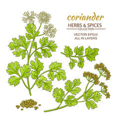 Coriander set vector