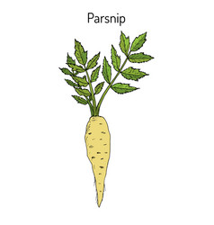 Parsnip root vegetable vector