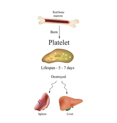 Limbo platelets in the bone marrow Dieback of vector