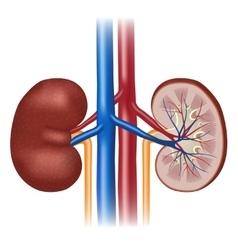 Human kidney anatomy vector image vector image