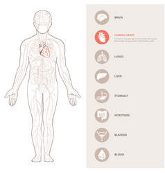 Human body anatomy infographic structure of vector