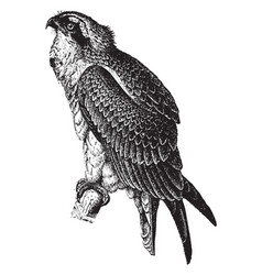 Fish hawk vintage vector