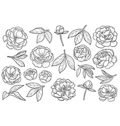 peony flowers and leaves set vector image