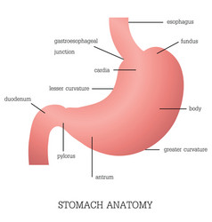 structure and function of stomach anatomy system vector image