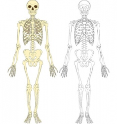 skeleton illustration vector image