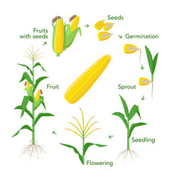 Maize plant growth infographic elements from seeds vector