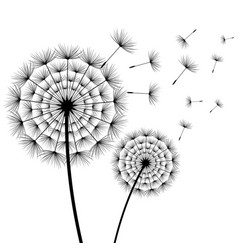 Beautiful flower dandelion black and white vector