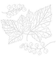 Currant and leaves vector