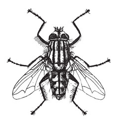 Flesh fly vintage vector