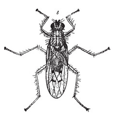 dung fly vintage vector image