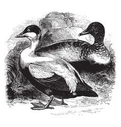 eider ducks vintage vector image