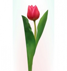 tulip flower isolated vector image vector image