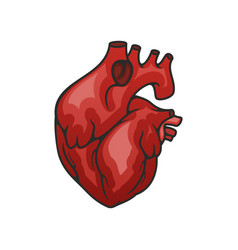 Heart organ isolated icon vector