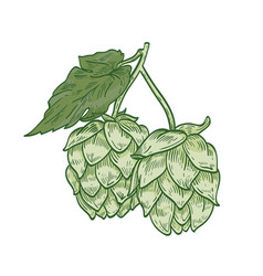 detailed botanical drawing of green hop sprig with vector image