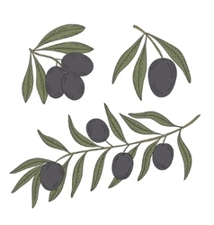 Branch of olive tree on a white background vector
