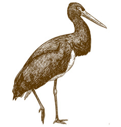 engraving drawing of black stork vector image