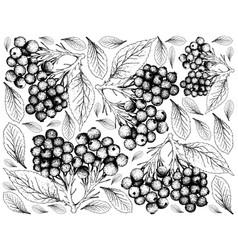 Hand drawn of elderberry fruits on white backgroun vector