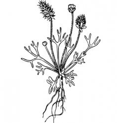 plant ceratocephala vector image