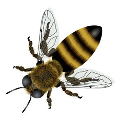 Detailed drawing of bee with transparent wings vector
