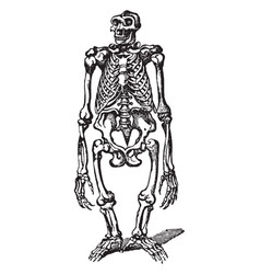 Gorilla skeleton vintage vector