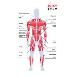 Male muscular system board human body structure vector