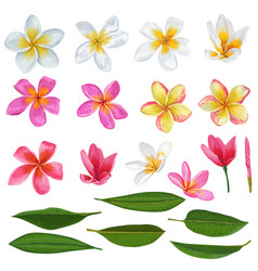 Plumeria flowers and leaves set floral elements vector