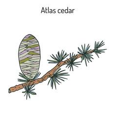 branch of a atlas cedar cedrus atlantica vector image