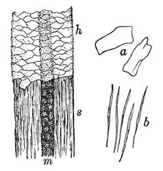 shaft of hair vintage vector image