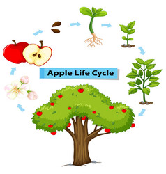 Diagram showing life cycle of apple vector