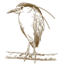 engraving of black-crowned night heron vector image