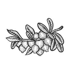 cranberry branch sketch engraving vector image