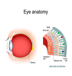 eye anatomy rod cells and cone cells vector image